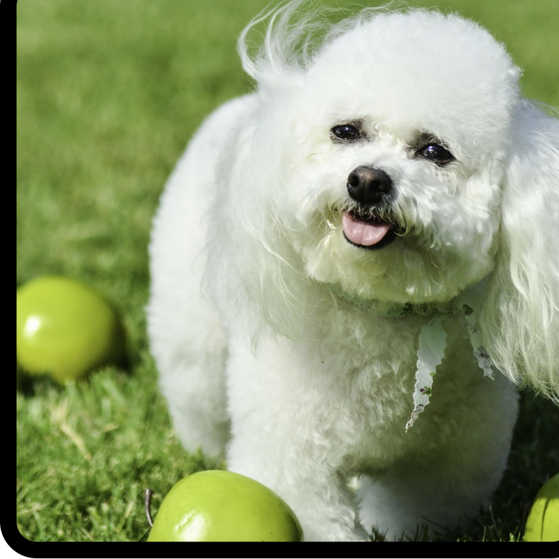 Bichon Frise: The Perfect Family Pet - Meet The Harris Family